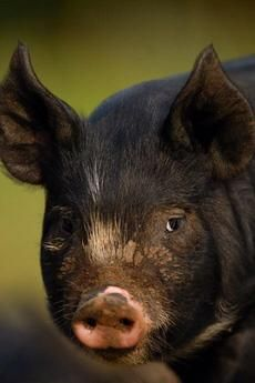 No information about breed, but this hog does look domesticated.  Looks pretty smart, actually!