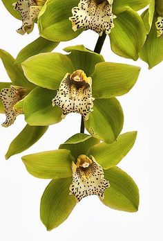 ↔❤↔→ Orchid 'Green Dragon' Cymbidium  I feel like this shows amazing things nature can do, green petals you rarely ever see that!