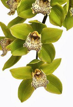 Orchid 'Green Dragon' Cymbidium