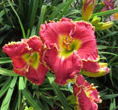 RUNNING HOT - DAYLILY. The reds are always popular. Here is one I really liked in bloom this year. Running Hot was a 2007 introduction from Pat Stamile. #daylily