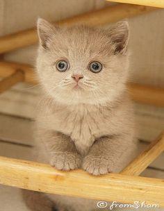 Best Baby from Sham, lilac British Shorthair