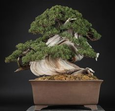 Bonsai shimpaku Juniper