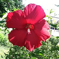 """""""Adopt the Pace of Nature: Her Secret is Patience"""" - Gorgeous Red Hibiscus in our test gardens that was sent back by a customer."""