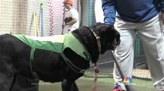 Miss Babe Ruth - a Black Lab baseball mascot - is retiring NBC News