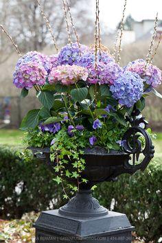 Gorgeous hydrangea filled urn.