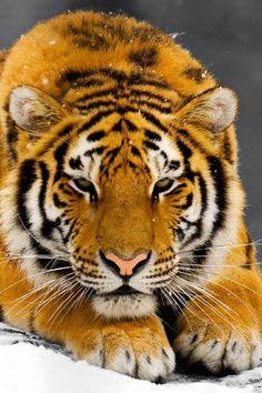 Tigress #06