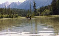 moose in prince george bc Moose in our back yard no doubt! Prince George Bc, Western Canada, Best Travel Deals, See It, British Columbia, Moose, North America, The Outsiders, Hunting