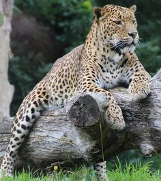 Leopard lounging
