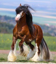 Gypsy Vanner Stallion ALWYN
