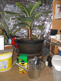 How to Grow Banana Plants Indoors and Outdoor - GoWritter Fast Growing Plants, Growing Tree, Indoor Banana Tree, Grow Banana Tree, How To Grow Bananas, Outdoor Plants, Outdoor Patios, Plants Indoor, Banana Plants