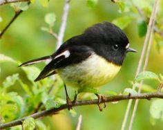 New Zealand Tomtit/ Miromiro New Zealand Tours, New Zealand Art, Cute Birds, Small Birds, New Zealand Mountains, Fat Bird, List Of Birds, Miro, New Zealand Landscape
