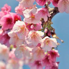 【kltw2016】さんのInstagramをピンしています。 《櫻花,台北。 2013/1/19 #台灣 #台北 #平等里 #平菁街 #櫻花 #士林 #陽明山 #台湾 #台湾旅行 #お花 #花見 #さくら #桜 #写真 #photography #Taiwan #Taipei #flowers #iseetaiwan #iformosa #instameettaiwan #flowerstagram #amazingtaiwan #vscotaiwan #instaflower》