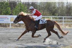 Finnhorse stallion Hiskin Muisto in monté racing
