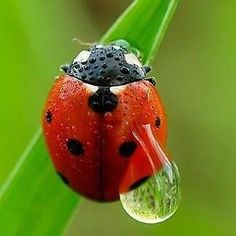 """In Europe, during the Middle Ages, insects were destroying the crops, so the Catholic farmers prayed to the Virgin Mary for help. Soon the Ladybugs came, ate the plant-destroying pests and saved the crops! The farmers began calling the ladybugs """"The Beetles of Our Lady"""", and they eventually became known as """"Lady Beetles""""!"""