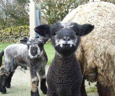 A lamb-pire! Part lamb, part vampire!