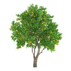 frutos del bosque: Aislado Árbol de fruta cítrica fruta. limón