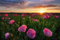 sunrise and poppies Pink Poppies, Pink Flowers, Beautiful Sunrise, Jolie Photo, Nature Photos, Nature Nature, Flowers Nature, Amazing Nature, Pretty Pictures