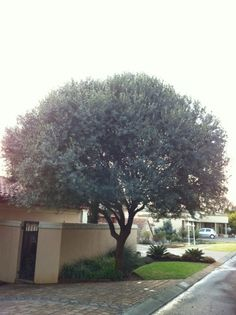 Planting and caring for your Wild Olive Something Wild, Tree Identification, Wild Olive, Tree Forest, Trees To Plant, Shrubs, Perennials, Plants, Gardening