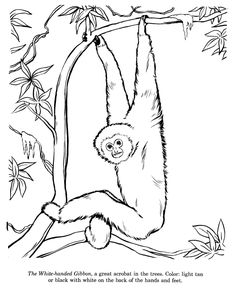 Free Printable Chimpanzee Coloring Pages For Kids Animal