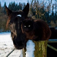 Another horse and cat friendship