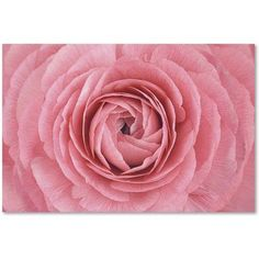 Trademark Fine Art 'Pink Persian Buttercup Flower' Canvas Art by Cora Niele, Size: 16 x 24, Multicolor