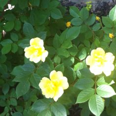 Hello to the lovely, yellow, Knock-out roses blooming in my garden right now.
