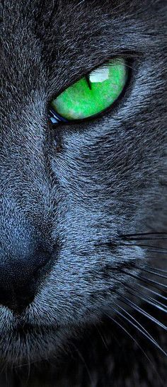 If you are looking for a truly unique and beautiful kitten you don't have to look much further than the Russian Blue breed. Delightful Discover The Russian Blue Cats Ideas. I Love Cats, Crazy Cats, Cool Cats, Warrior Cats, Beautiful Cats, Animals Beautiful, House Beautiful, Animals And Pets, Cute Animals