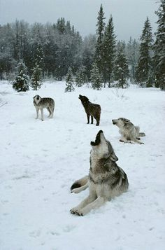 Call of the Wild! #wolves