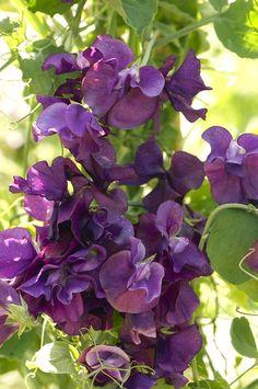Sweet Pea 'Blue Velvet' (Lathyrus odoratus)