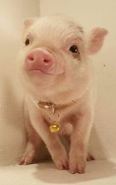 The Daily Cute: Undebatably Adorable Pigs Micro piglet pet pig miniature pig baby pig animals pets baby pigs animal micro pigs videos micropig pet pigs family minipig small funny videos best piggie piggies Cute Baby Pigs, Baby Piglets, Cute Piglets, Cute Little Animals, Cute Funny Animals, Teacup Pigs, Pet Pigs, Tier Fotos, Cute Creatures