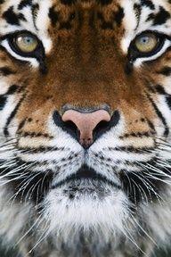 La belleza de un tigre