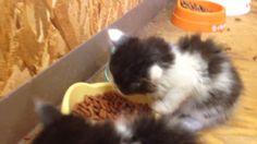 生後1ヶ月の子猫4匹:3日目の朝の食事風景