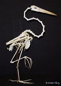 rat skeleton diagram bing images chimera owl pellets