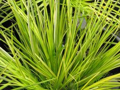 Acorus Ogon - Fabulous for burst of yellow/lime green. Clumping. Great around water feature.