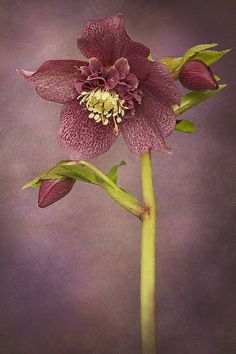 Helleborus x hybridus 'Tutu' from Jacky Parker Floral Art. My Flower, Flower Art, Flower Power, Unusual Flowers, Amazing Flowers, Lenten Rose, Christmas Rose, Delphinium, Flower Pictures