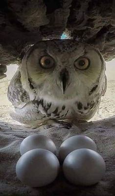 """KHADOG"""" FACE TO FACE Photo by """"KHADOG"""" is the name of this great owl, which appears in this snapshot from within the nest and is back to the four eggs.The isnest located in the desert of Qatif in eastern Saudi Arabia. Beautiful Owl, Animals Beautiful, Cute Animals, Owl Photos, Owl Pictures, Owl Bird, Pet Birds, Tier Fotos, Snowy Owl"""