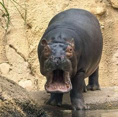 In case you didn't already know Fiona was a one-of-a-kind hippo. Fiona The Hippo, Cute Hippo, Cincinnati Zoo, Hippopotamus