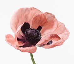 Paul Lange (Photographer): Oriental Poppy
