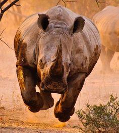 Rhino run #rhinoceros #rhino #topanimals