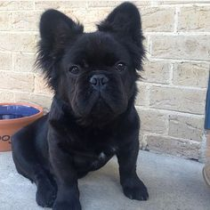 French Bulldog Mix (possibly Skipperkee or Pomeranian).