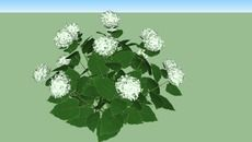 3D Model of Hydrangea 'Annabel'