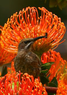 Cape Sugarbird or Bee-eaterß Sitting on a magnificent protea, Cape Town