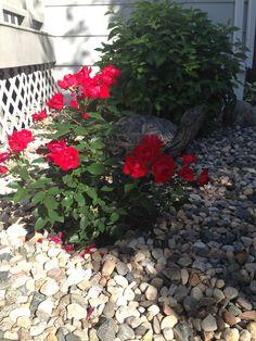 My first rose Busch !