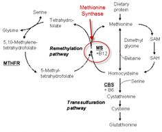 Methylation Inhibited by Candida's Toxin | MTHFR.Net....http://mthfr.net/methylation-inhibited-by-candidas-toxin/2012/09/08/