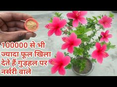Growing Plants From Seeds, Planting Seeds, Planting Flowers, Hibiscus Plant, Hibiscus Flowers, Plant Pots, Potted Plants, Driving Class