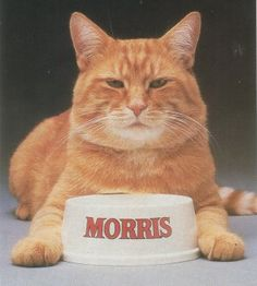 "Haha...everyone knew Morris the Cat. This original Morris was ""discovered"" at the Hinsdale Humane Society, an animal shelter in the Chicago area, in 1968."