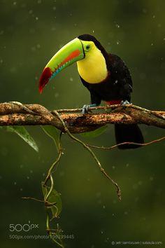 Keel-billed Toucan | Costa Rica by sulasulacom via http://ift.tt/2kYkaKH