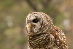 """Barred Owl - Isnt She Lovely"" © by Christy Cox Photography"