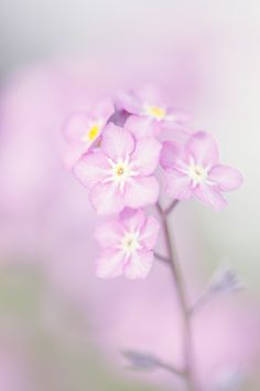 Forget Me Not in Pink by Sharon Collins on 500px