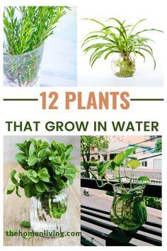 Water Plants Indoor, Plants Grown In Water, Water Garden Plants, Indoor Plants Low Light, Best Indoor Plants, Indoor Flowers, Plant In Water, Low Light Houseplants, Indoor Flowering Plants